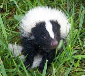 young-skunk-closeup