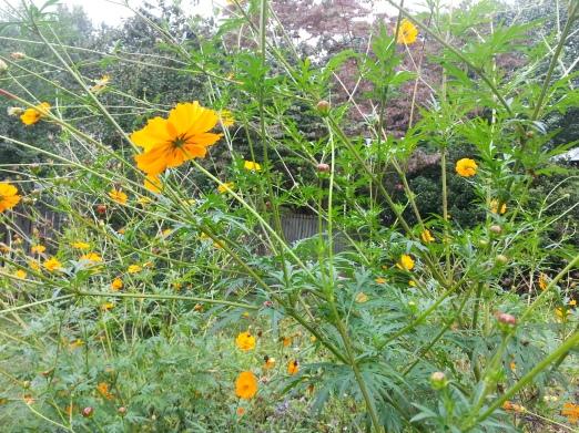 Jefferson's Marigolds