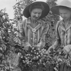 Two young women picking hops