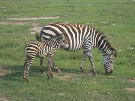 zebra-e1396367358829