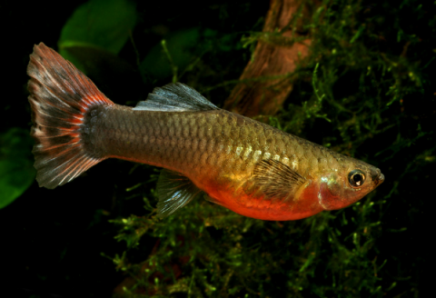 Guppy Female_1