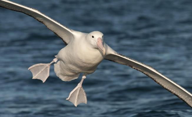 1200126Southern_Royal_Albatross_20130105_Kaikoura_NZ_05