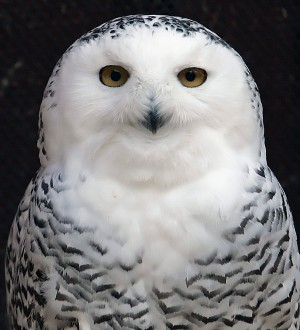 Mini, a 25-year-old Snowy Owl injured as a young bird, peers out from her enclosure at the Raptor Trust, a bird sanctuary and rehabilitation center about 30 miles west of New York City in Millington, New Jersey in this December 12, 2006 file photo. The elusive snowy owl, rarely seen outside the Arctic, is turning up more frequently in the skies of North America than it does in the pages of a Harry Potter book, data from the National Audubon Society suggested on January 7, 2015. REUTERS/Mike Segar/Files (UNITED STATES - Tags: ANIMALS ENVIRONMENT)